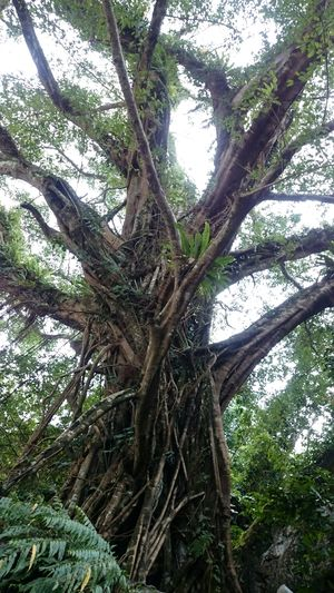 The tree that watched generations go in and out the daraitan cave. Daraitan TanayRizal Nature Tree Green Nature's Diversities