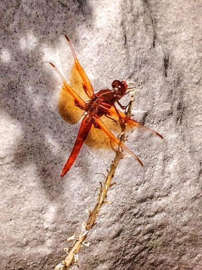 Nature Photography Southern California Nature Outdoors Insects Collection Dragonfly Hstimko Beauty In Nature No People Spring In The Desert Beauty In The Desert Dragonfly Eyeem Collection