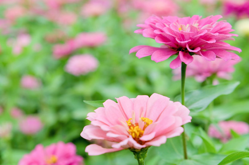 Pink daisy gerbera flowers in garden Garden Flowers Beauty In Nature Blooming Close-up Daisy Gerbera Flowers Day Flower Flower Head Fragility Freshness Gerbera Gerbera Daisy Growth Nature No People Outdoors Petal Pink Color Pink Daisy Pink Flower Plant Zinnia