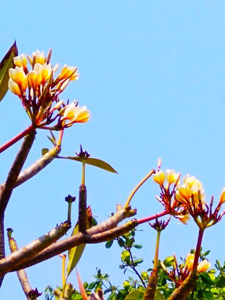 BEAUTY IN NATURE Blue Sky Beauty In Nature Branches Flowers Beauty Day Yellowish White