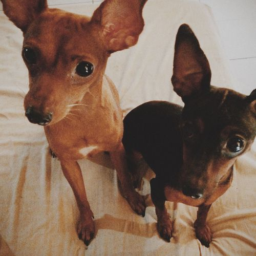 Bacon & Sherlock Dog Dogs Minpin Vscocam VSCO Cam Vscogrid Vscogood Vscophile What I Value