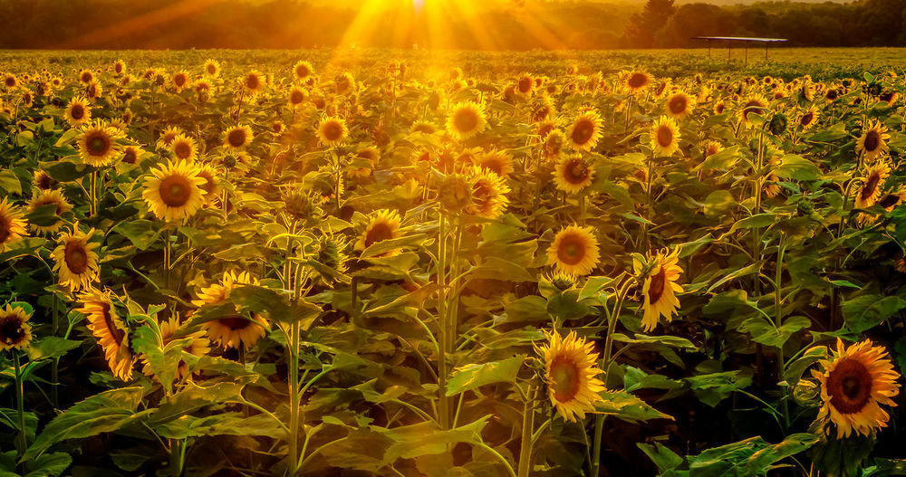 Sun Beams on Sun Flowers Beauty In Nature Crop  Farm Field Flower Flower Head Growth Landscape Nature No People Outdoors Scenics Sun Sun Flowers Field Sun Rays Through The Clouds Sun Sun Sun Sunbeam Sunflower Sunlight Sunlight Sunset Tranquility Yellow