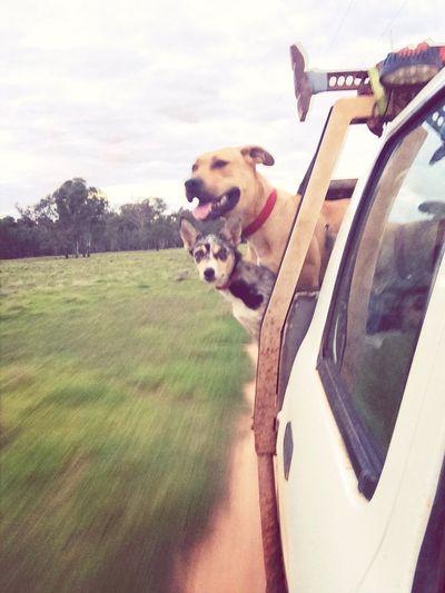Sheepdog Bullarab X  Pigging Pig Hunting tes dog and pip