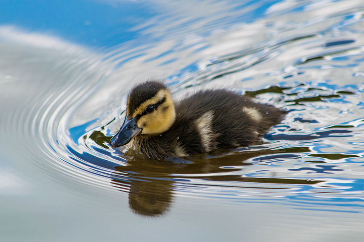 Duckling Swimming In Lake