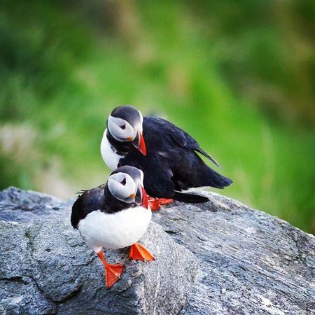 Ich freu mich dieses Jahr wieder auf die Papageitaucher (Puffins ), wahrscheinlich in Schottland Freu bildausnorwegen2013 photography bird