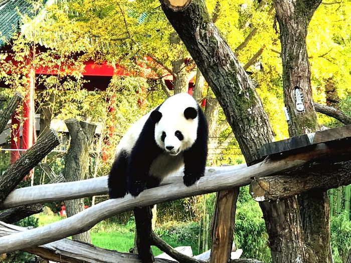 Tree Panda - Animal One Animal Mammal Giant Panda Panda Zoo Fall Colorful Berlin Berliner Ansichten Berlin Photography