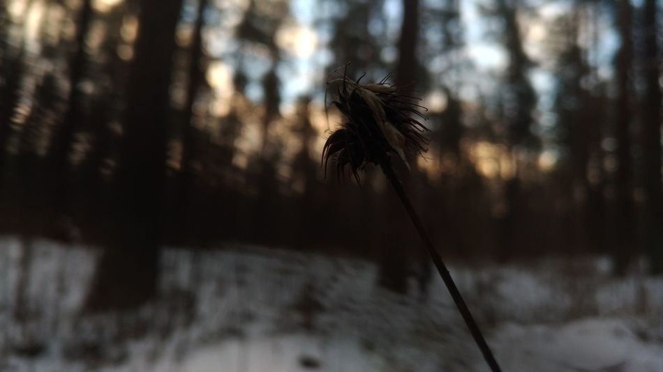 No Filter Dead Dead Plant Wintertime Winterscapes Riga Landscape Evening Sunsetting Sunsettime Photography Cold Days Woods Forestwalk Forest Trees Pine Tree Forest Photography Photo Nature No People Pine Tree Outdoors Day Forest Tree