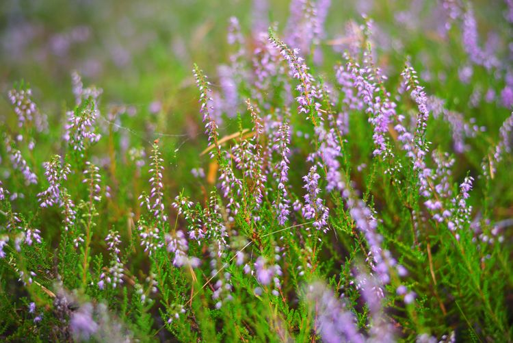 Close-up of purple flowering plants on field