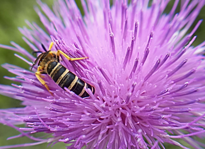 Hymenoptera/Cirsium acaule - Serchio River Beauty In Nature Close-up Flower Insect Nature EyeEm Nature Collection EyeEm Macro Lover Macro Macro Nature EyeEm Macro Collection Insect Photography Macro Photography EyeEm Nature Lover EyeEm Macro Close-up Shot Insect Paparazzi Macro_collection Eyeem Nature Outdoor Beauty Outdoor Photography Zoology Outdoor Photo Insect Photo Eyeem Macro Insect Insects Collection