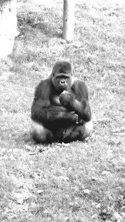 Gorilla Jersey Durell