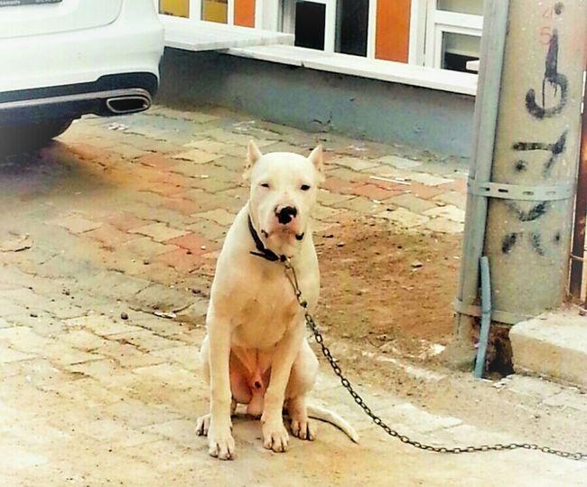 Dog Pet Dogo Argentino Dogo White Tired Pets Dogs