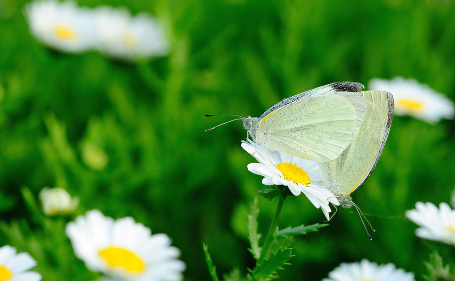 Animal Animal Themes Animal Wildlife Animal Wing Animals In The Wild Beauty In Nature Butterfly Butterfly - Insect Close-up Flower Flower Head Flowering Plant Fragility Freshness Growth Insect Invertebrate No People One Animal Petal Plant Pollen Pollination Vulnerability  微距 蝴蝶