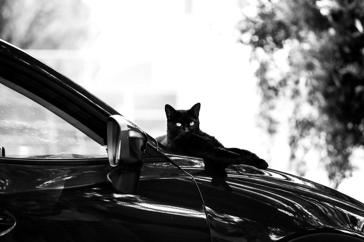 Animal Animal Head  Animal Themes Car Cat Day Domestic Domestic Animals Domestic Cat Land Vehicle Looking At Camera Mammal Mode Of Transportation Motor Vehicle No People One Animal Pets Portrait Sky Transportation Vertebrate