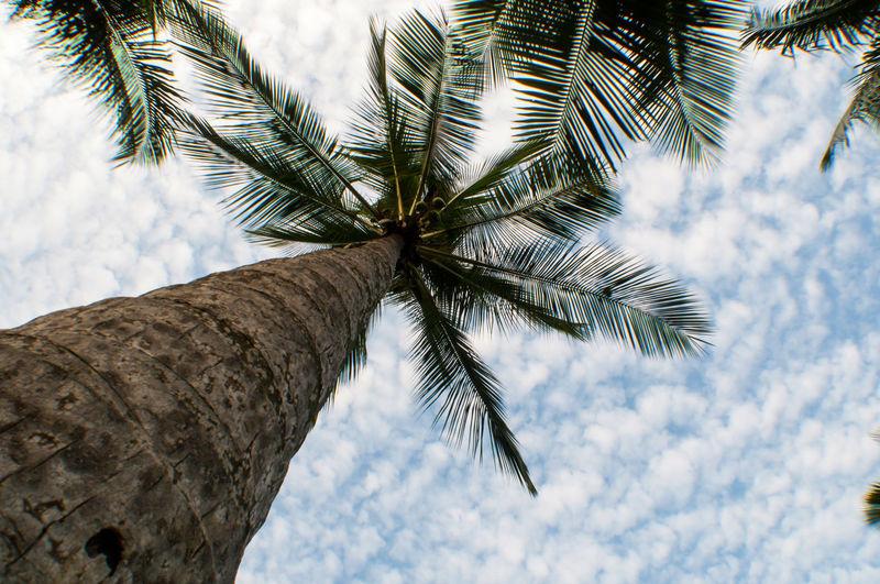 Palm tree seen from below