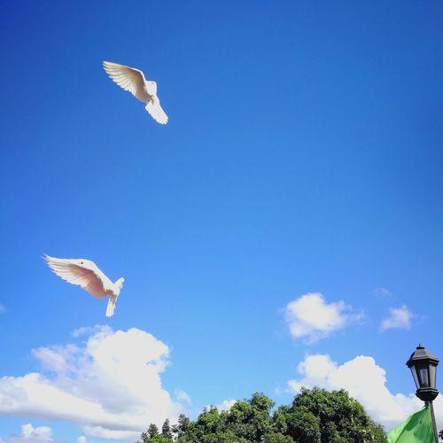 Clouds And Sky Candy Cloud Flap Flappy Bird Birds Of EyeEm  PhonePhotography Outdoors Doves Wedding Flight Blue Blue Sky Wings White Bird Church The Photojournalist - 2018 EyeEm Awards