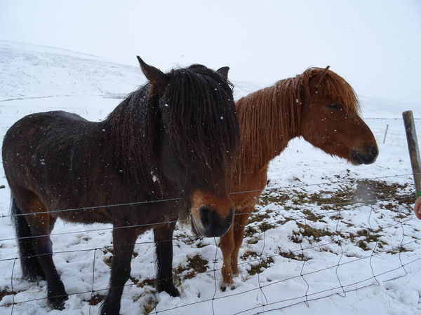 Innsbruck Islandpferd  Pony Animal Animal Themes Animal Wildlife Claudia Ioan Cold Temperature Covering Domestic Domestic Animals Field Group Of Animals Herbivorous Horse Iceland_collection Land Livestock Mammal Mountain Nature No People Outdoors Pets Snow Snowcapped Mountain Snowing Standing Vertebrate Winter