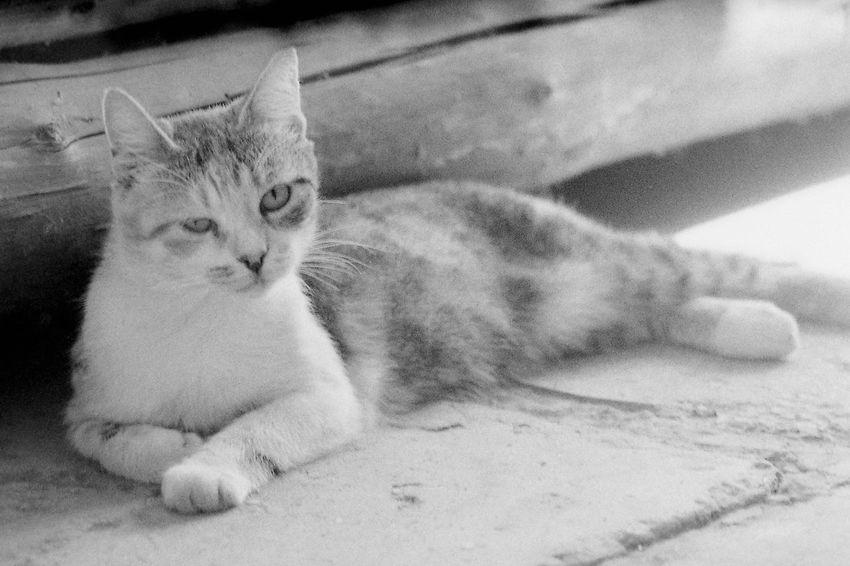 Glum russian cats p. 2 35mm Film CHM Universal 100 Pentacon 2.8/135mm Black And White Cat Film Photography