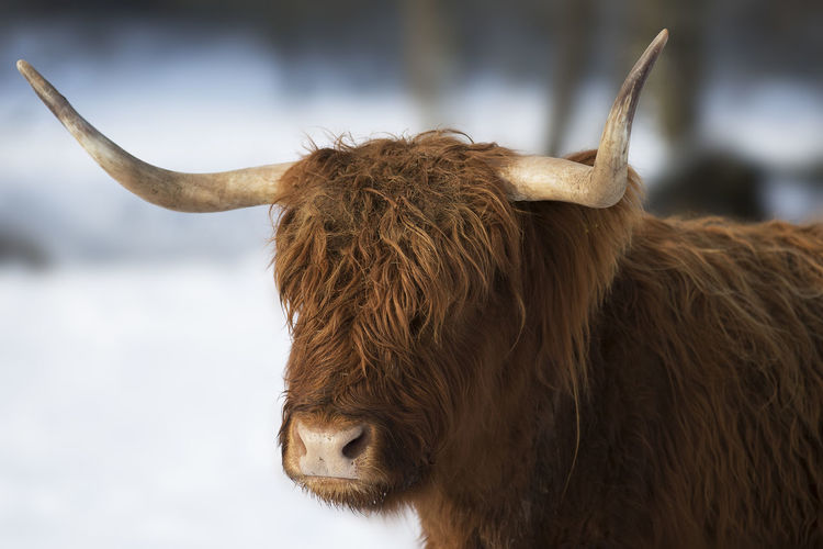 Highland cattle Agriculture Animal Animal Body Part Animal Head  Animal Themes Brown Hair Close-up Cold Cold Temperature Colors Cow Day Highland Cattle Highland Cattle Horned Long Horns No People One Animal Outdoors Snow Snow ❄ Winter Wintertime