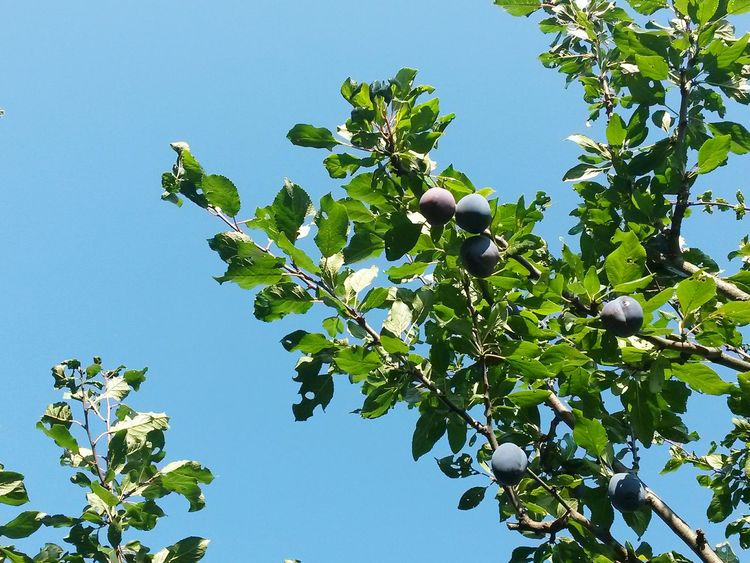 Fruit Nature Leaf Tree Blue Food Food And Drink Sky No People Day Branch Outdoors Agriculture Healthy Eating Freshness Social Issues Green Color Plant Beauty In Nature Growth Pflaumenbaum Pflaumen Plums On The Tree Plums Tree Plums
