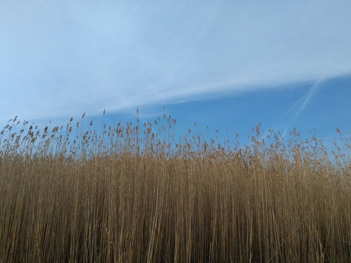 Autumn Clear Sky Skies Airplane Trails Blue Sky Bulrush Cloud And Sky Reed first eyeem photo