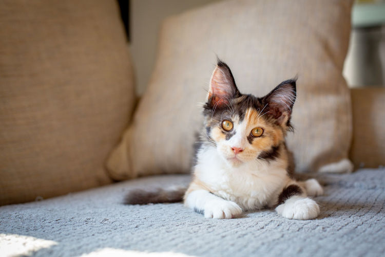 Animal Animal Head  Animal Themes Cat Domestic Domestic Animals Domestic Cat Domestic Room Feline Focus On Foreground Furniture Indoors  Looking At Camera Mainecoon Mammal No People One Animal Pets Portrait Relaxation Sofa Vertebrate Whisker