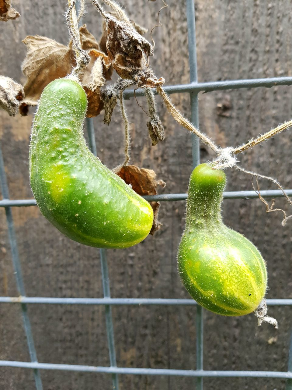CLOSE-UP OF GREEN FRUIT ON PLANT
