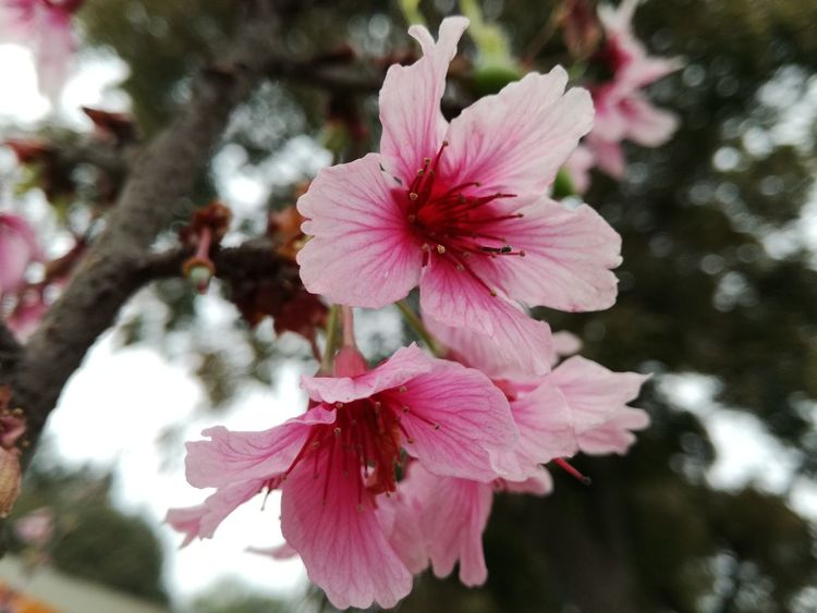 Flower Pink Color Blossom Fragility Flower Head Beauty In Nature Petal Springtime Stamen Nature Day Freshness Sunset Close-up Hibiscus Outdoors Growth Tree Landscape Tourism Scenics Artistic Creative Nature First Eyeem Photo