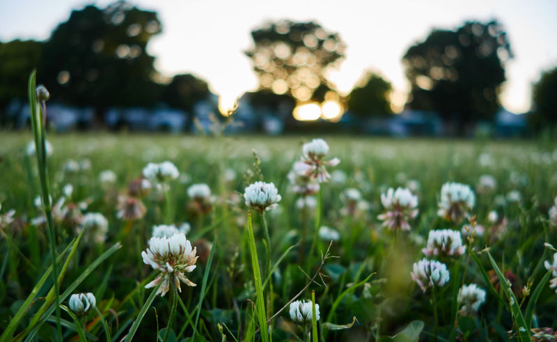 Agriculture Beauty In Nature Blooming Close-up Clover Day Field Flower Flower Head Focus On Foreground Fragility Freshness Grass Growth Nature No People Outdoors Plant Sunset SunsLight Tranquility