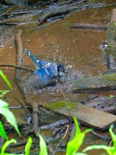 Blue Jay, bathing Bird Birds Bird Bathing Lincoln Massachusetts Drumlin Farm Massachusetts Blue Jay