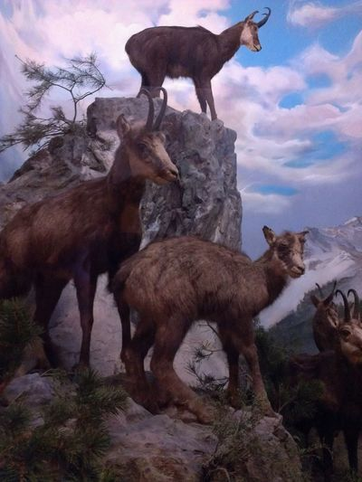 Senckenberg Naturmuseum Diarama  Frankfurt Am Main Animals