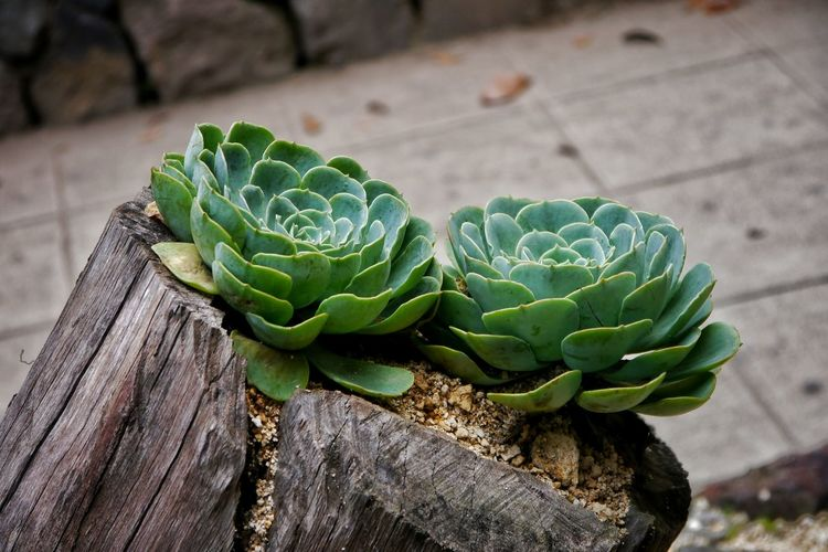 High angle view of succulent plants on tree stump
