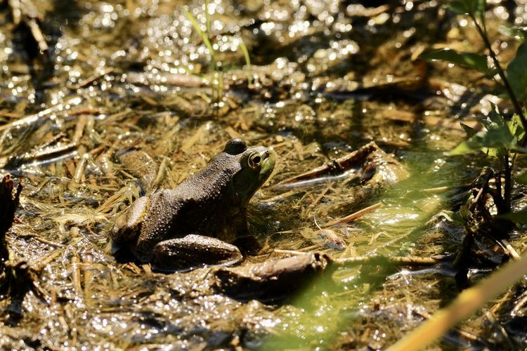 High angle view of frog in lake