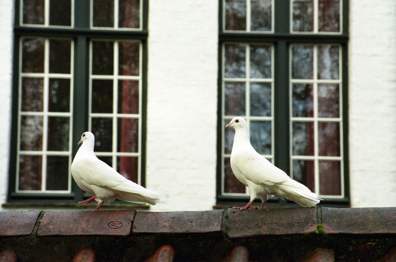 Close-up of dove perching on roof