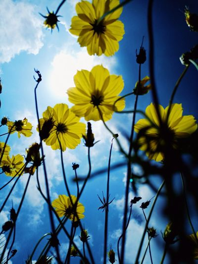 Close-up of yellow flowering plants against blue sky