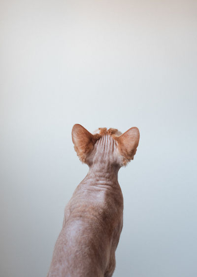 Low angle view of cat against white background