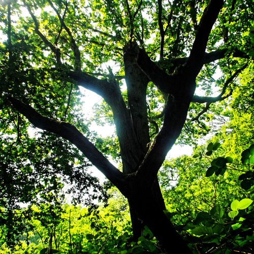 Tree Branch Tree Trunk Backgrounds Leaf Sky Close-up Green Color Tree Canopy  WoodLand Silhouette Lush Foliage Woods Forest Growing Treetop Fallen Tree Greenery Lush - Description