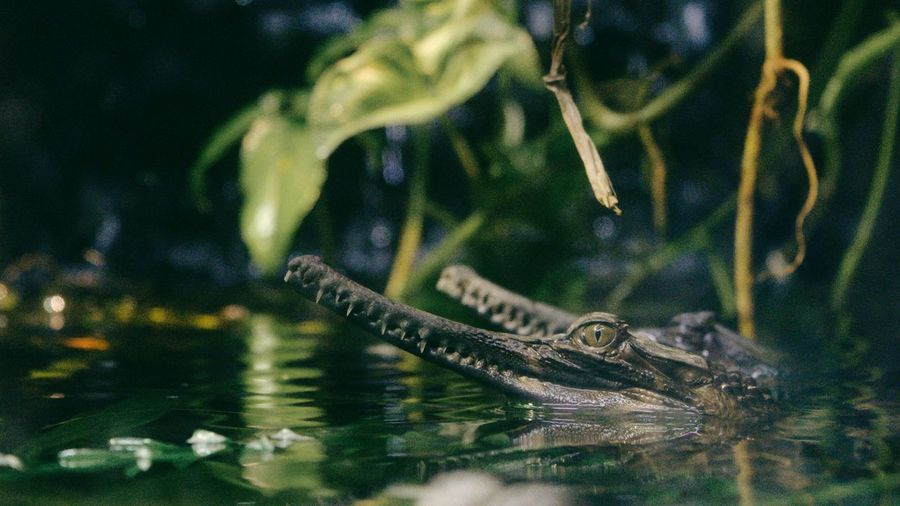 Caiman crocodiles swimming next to each other