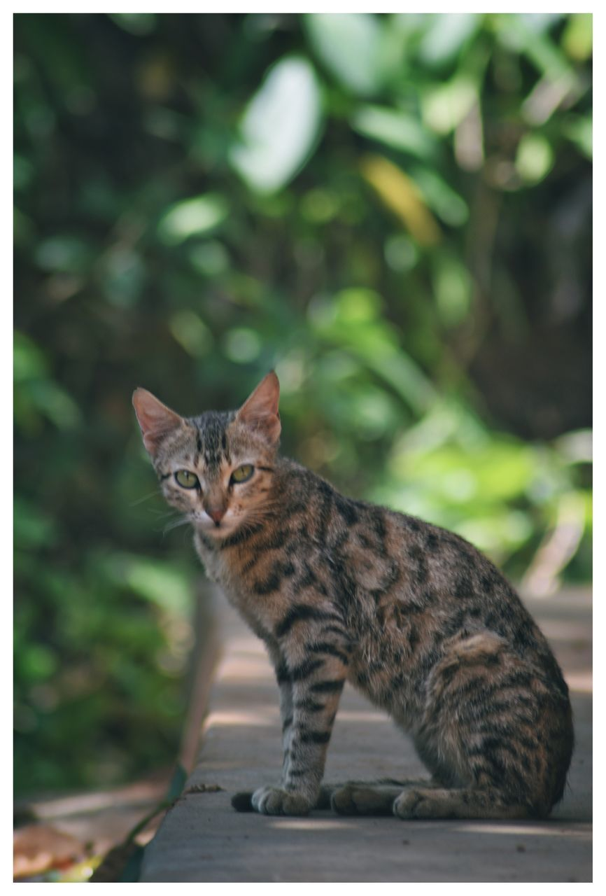 domestic cat, one animal, pets, animal themes, domestic animals, feline, sitting, mammal, no people, day, portrait, close-up, outdoors