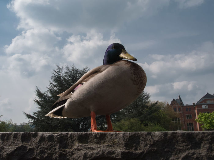 Close-up of duck perching on rock