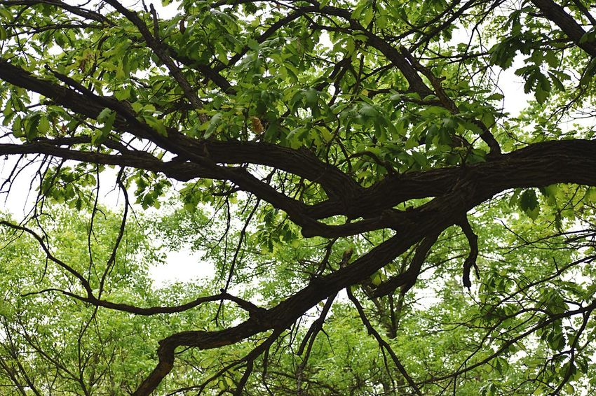 Tree branch from beneath Tree Plant Low Angle View Branch Beauty In Nature Growth No People Green Color Nature Tranquility Day Plant Part Outdoors Forest Leaf Lush Foliage Foliage Tree Trunk Sunlight Sky