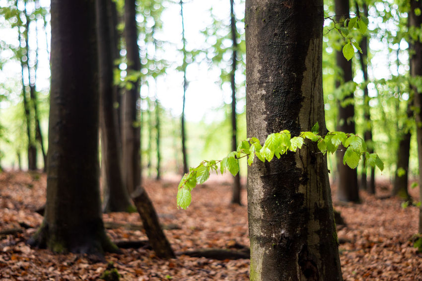 Beauty In Nature Close-up Day Focus On Foreground Forest Green Color Growth Land Leaf Nature No People Outdoors Plant Plant Part Sunlight Tranquility Tree Tree Trunk Trunk WoodLand