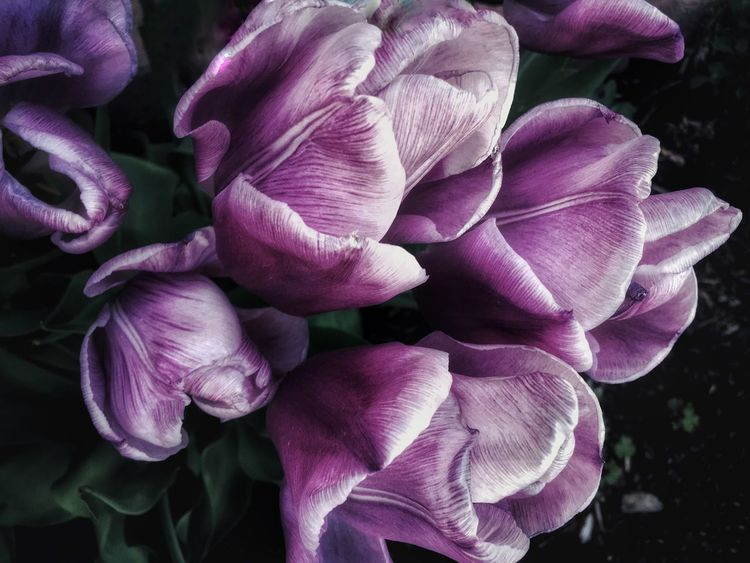 Tulipanes al olvido Beauty and sadness before the petals fall to the wind Flower Flowering Plant Petal Freshness Beauty In Nature Inflorescence Plant