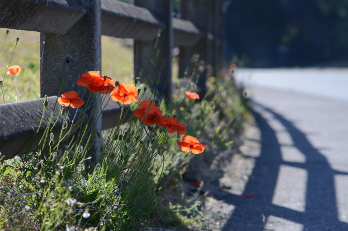 Concrete Fence Flower Flowering Plant Poppies  Red Red Flowers Roadside Weeds Shadow