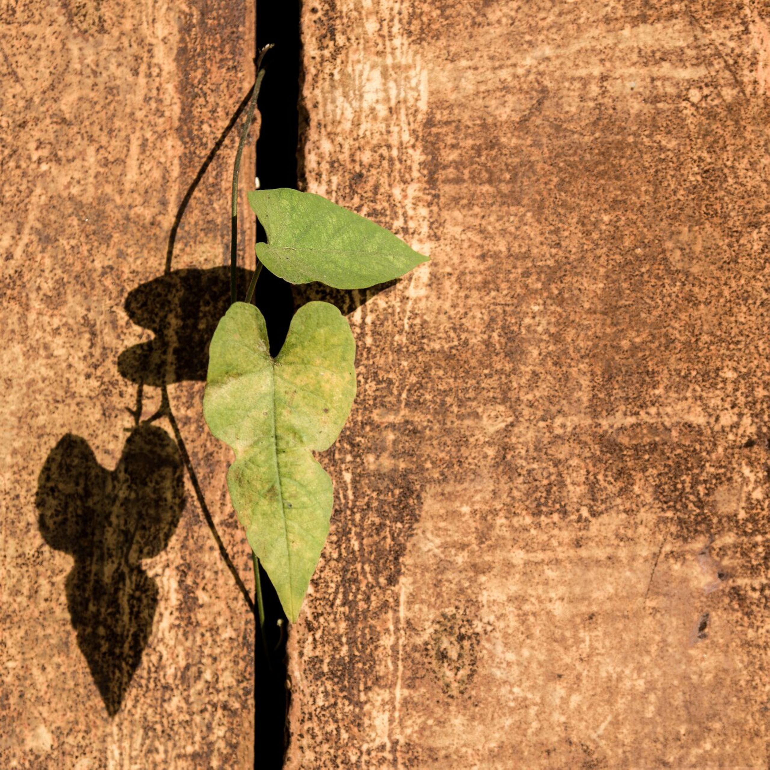 leaf, growth, wall - building feature, plant, green color, built structure, close-up, sunlight, shadow, growing, architecture, wall, textured, nature, day, brick wall, no people, outdoors, ivy, building exterior