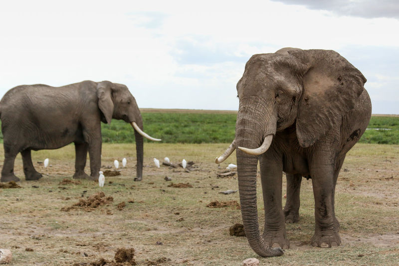 2 adult, wild, african elephants in a field with white birds around them. Wild animals seen on a safari in kenya. 2 Animals African Animals African Elephants Animals In The Wild Birds Day Elephants Field Grass Grazing Herbivorous Horizon Over Land Kenya Landscape Majestic Nature Mammal No People Outdoors Tranquil Scene Tranquility Tusks White Birds Wild Animal Wildlife & Nature