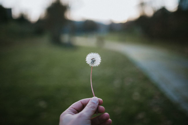 Dandelion Dandelion Seed Dandelions Dandelion Collection Plant Nature Holding Fragility Fragile Human Hand Focus On Foreground Close-up Softness Flower Head Outdoors Vulnerability  Flowering Plant Flower Day Freshness Finger