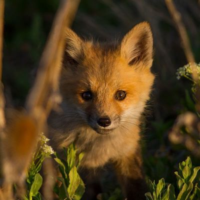 My favorite photograph I've ever taken. An adorable Red Fox Kit. They are extremely curious and this one got closer than it should have....it's one of those right moments combined with the right light. Utah Sunset Fox