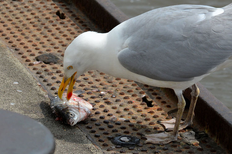 High angle view of seagull feeding