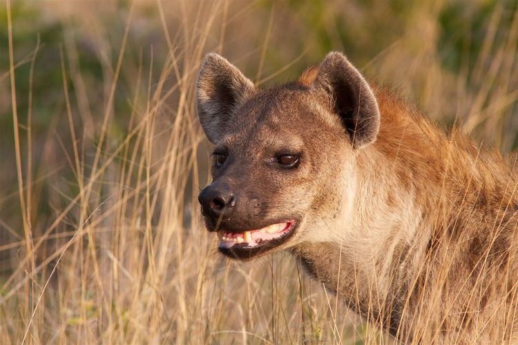 Close-up of hyena