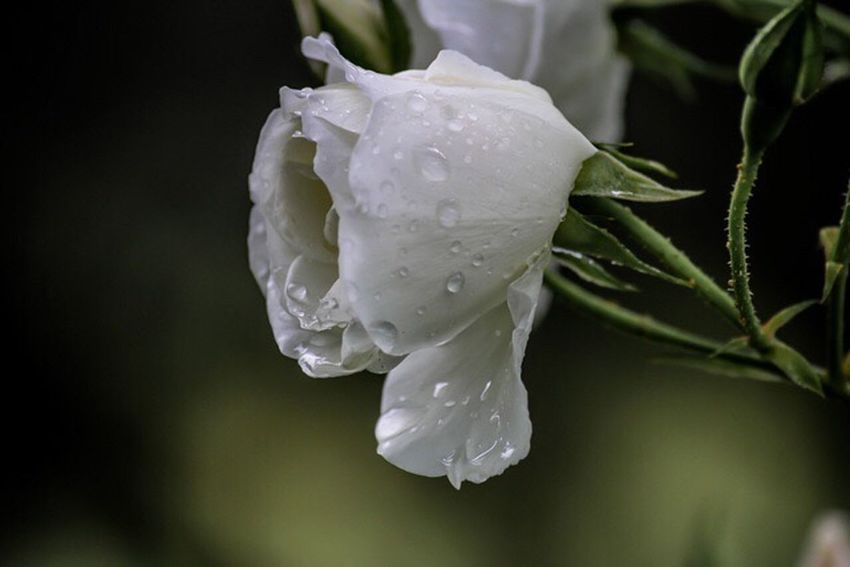 Nature Drop Water Nature Beauty In Nature Freshness Flower Rain Petal Close-up Plant Day RainDrop Outdoors No People Wet